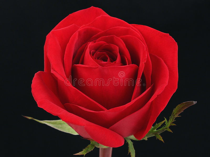 Rosa rossa contro il nero fotografie stock