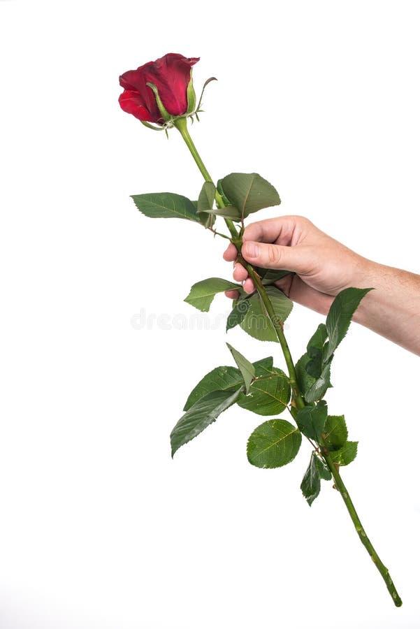 Rosa rossa della tenuta della mano del ` s dell'uomo fotografie stock libere da diritti