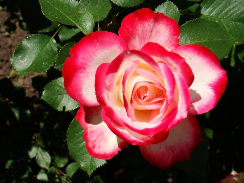 Rosa rossa di bianco Il bianco è aumentato con il confine rosso Foto di una Rosa rossa immagine stock libera da diritti