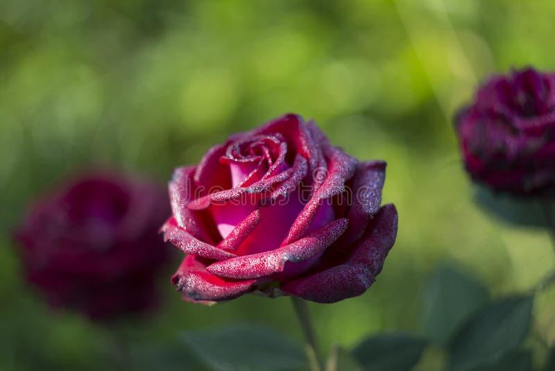 Rosa rossa di mattina coperta nelle gocce di rugiada fotografia stock libera da diritti