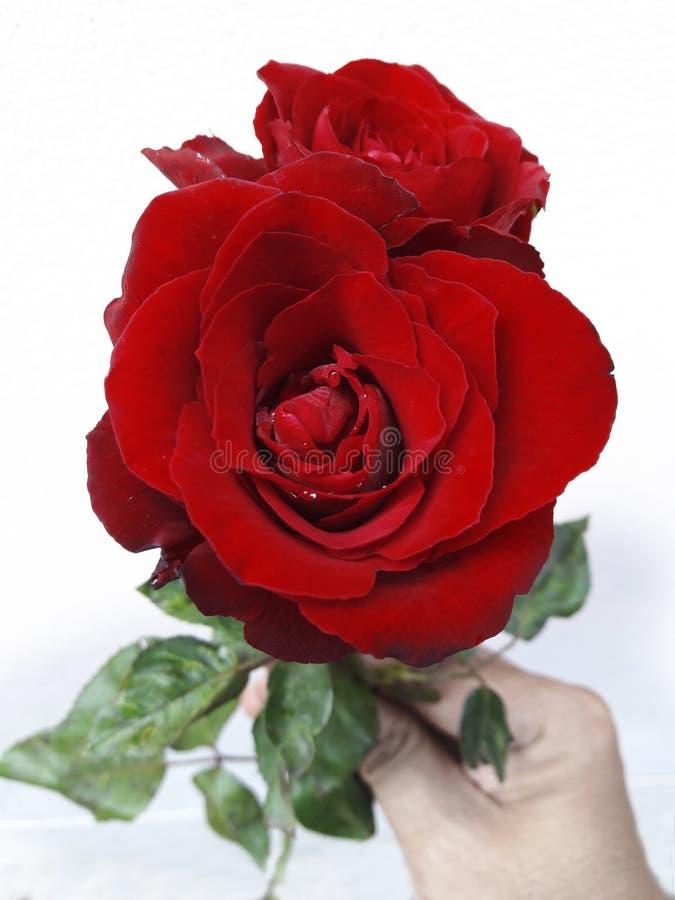 Rosa rossa a disposizione isolata su fondo bianco fotografia stock