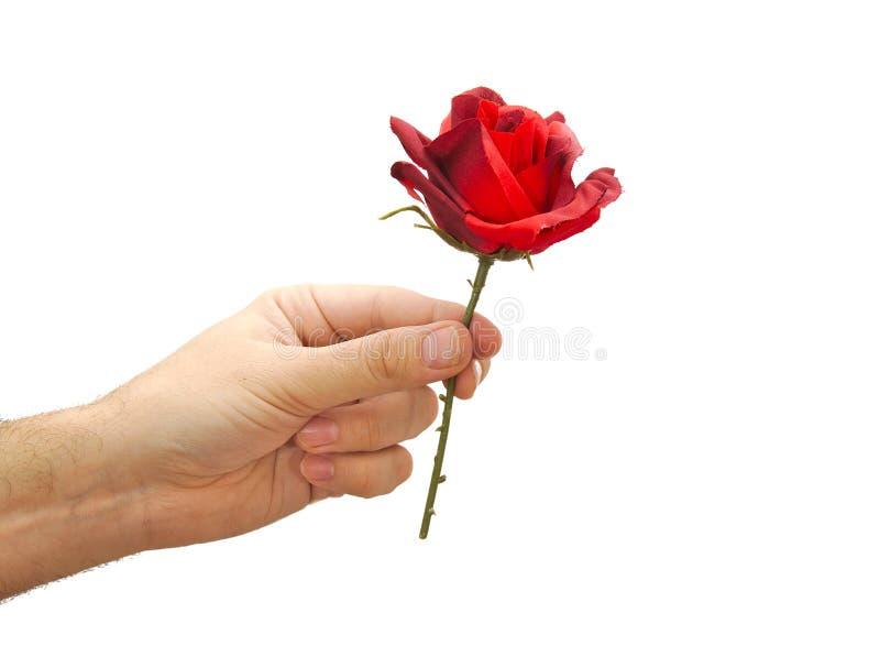 Rosa rossa a disposizione isolata su fondo bianco fotografie stock libere da diritti
