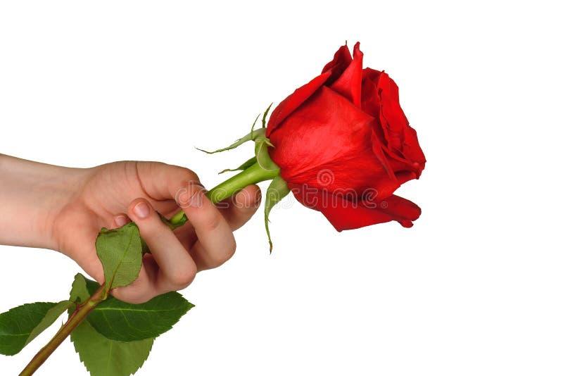 Rosa rossa a disposizione su bianco immagini stock