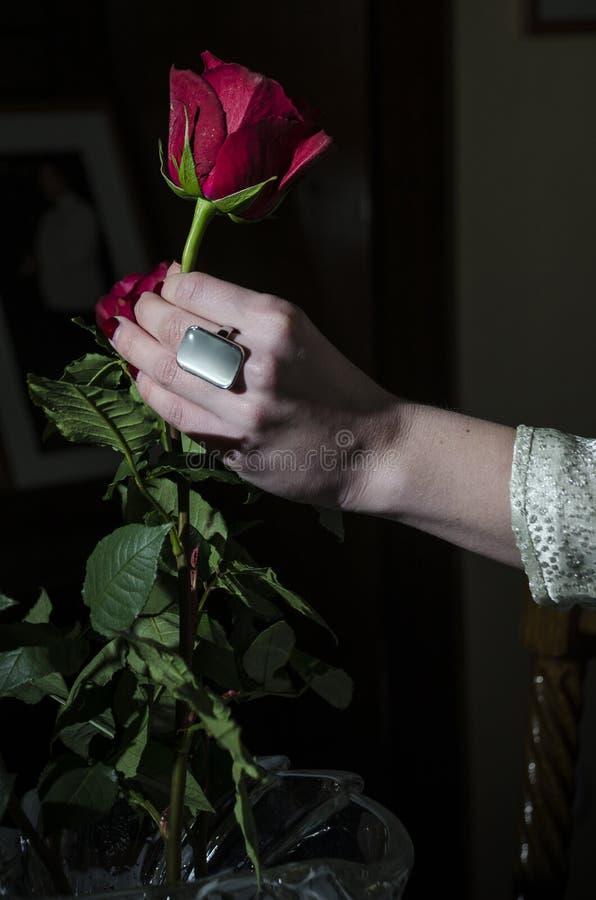 Rosa rossa e mano fotografia stock