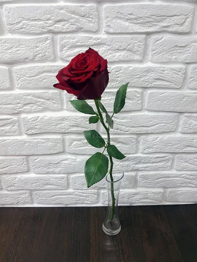 Rosa rossa isolata in un vaso fotografie stock libere da diritti