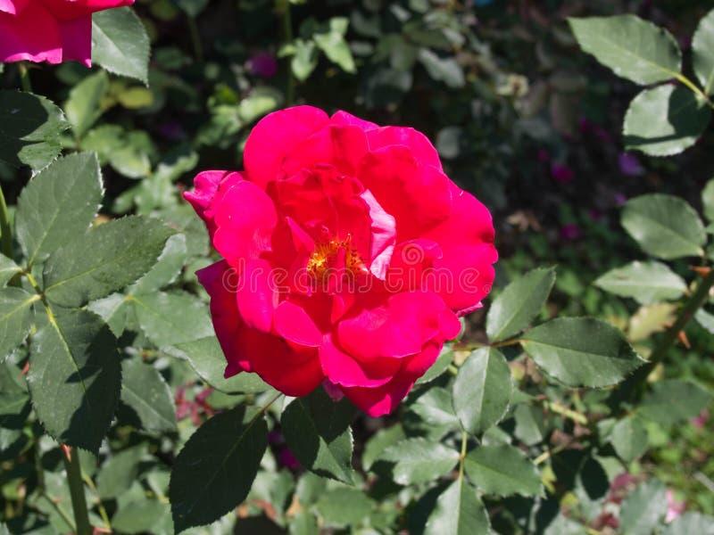 Rosa rossa luminosa con un centro giallo in piena fioritura in centrale oh immagini stock