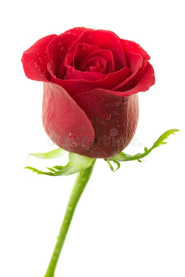 Rosa rossa perfetta con le gocce di acqua sui petali isolati su fondo bianco fotografia stock libera da diritti
