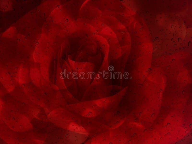 Rosa rossa romantica con goccia di acqua sul piatto dello specchio di vetro per abst fotografie stock