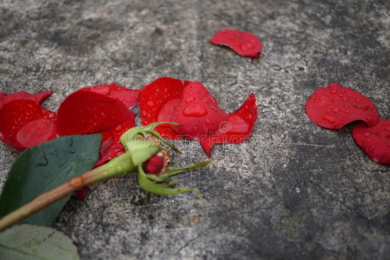 Rosa rossa rovinata fotografia stock