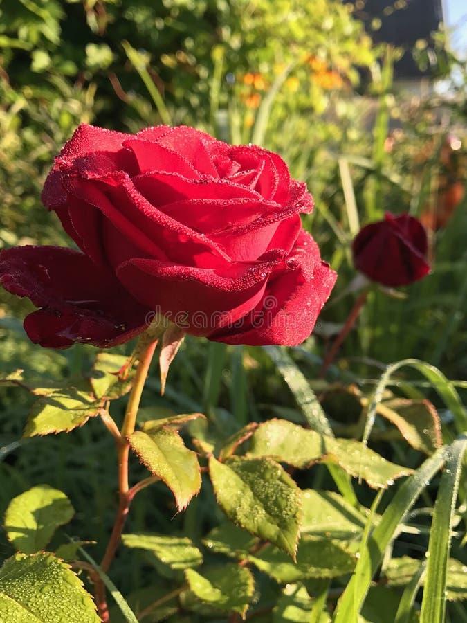 Rosa rossa in rugiada fotografia stock