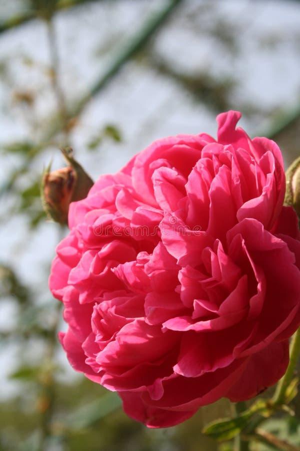Rosa rossa: Segno di amore fotografia stock