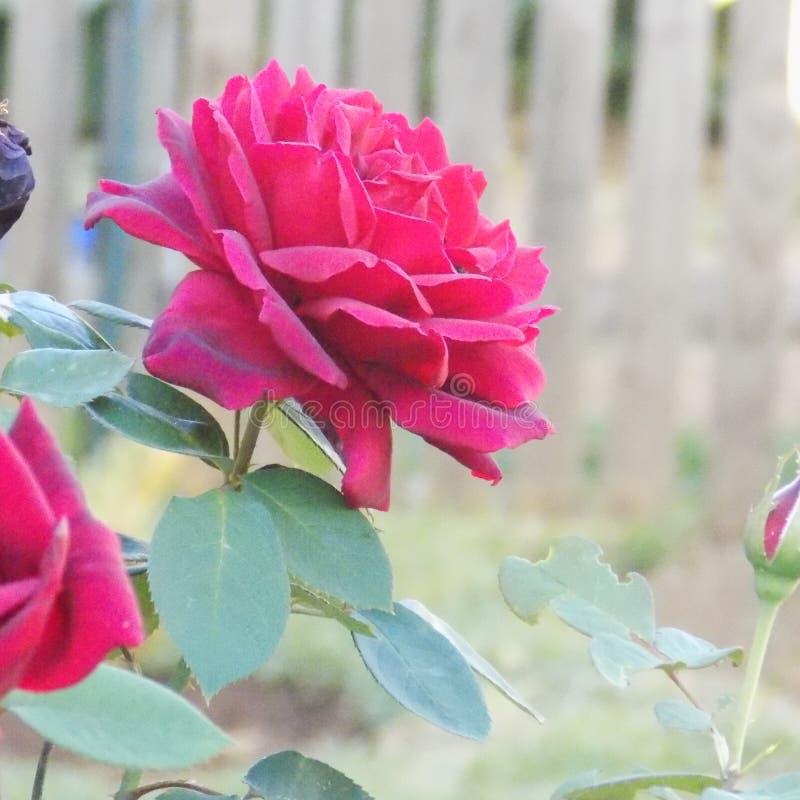 Rosa rossa un colore luminoso zummato del colpo fotografia stock libera da diritti