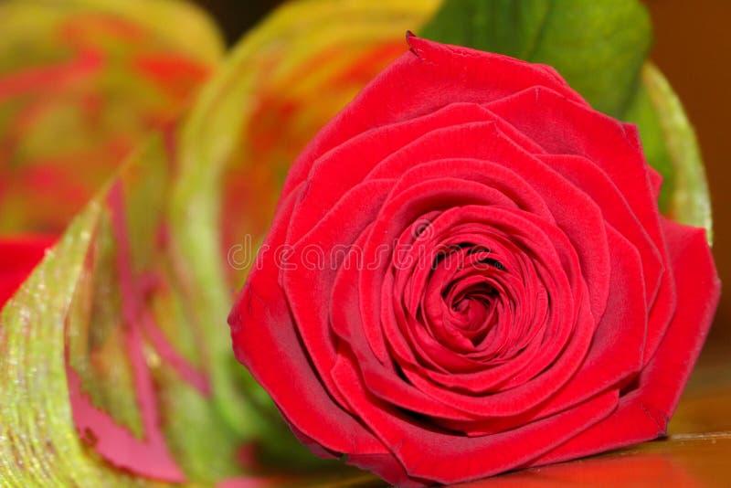 Rosa rossa in un singolo mazzo immagini stock