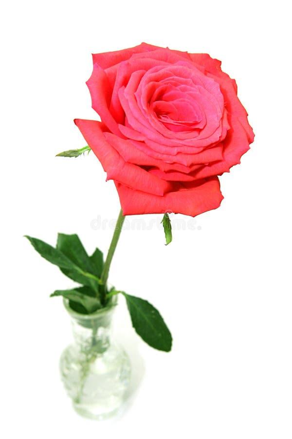 Rosa rossa in vaso fotografia stock