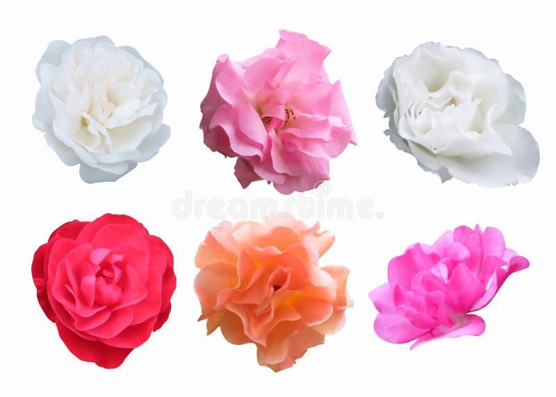 Rosa, rosso, bianco, rose della pesca su fondo bianco con il ritaglio fotografia stock
