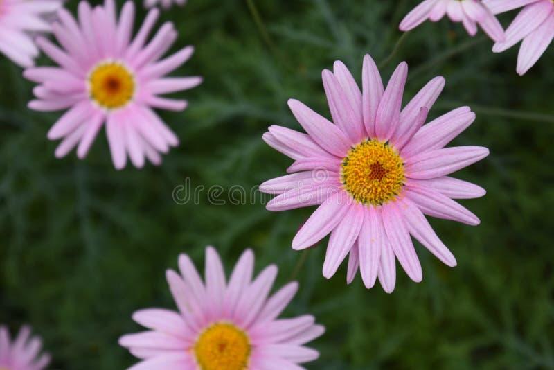 Rosa rosso-chiaro Daisy Flowers Blossom fotografie stock