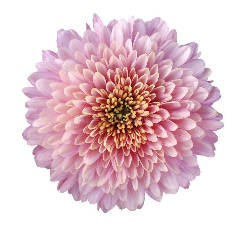 Rosa-rot-purpurrote Blumenchrysantheme, Gartenblume, Weiß lokalisierte Hintergrund mit Beschneidungspfad nahaufnahme Keine Schatt lizenzfreies stockbild