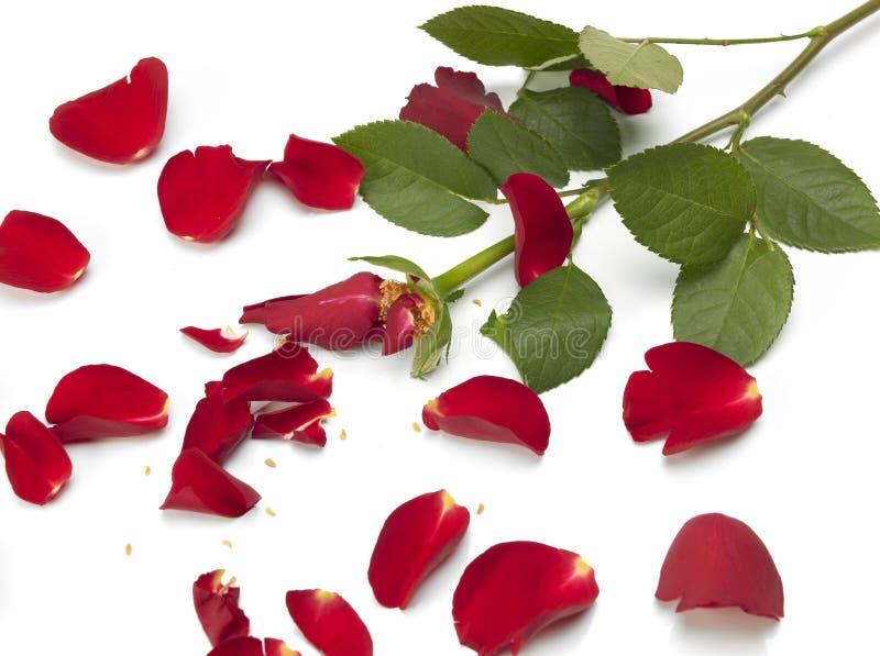 Rosa rotta immagine stock