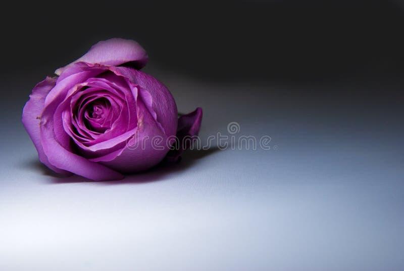 Rosa roxa imagem de stock