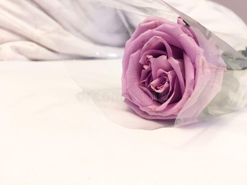 A rosa roxa está na cama branca Este é rosa ou hybrida violeta de Rosa, o símbolo para o amor ou todo o aniversário É bonito imagens de stock