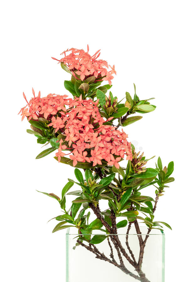 Rosa rubiaceae i den glass vasen genom att använda för isolerad garnering i wh arkivbilder