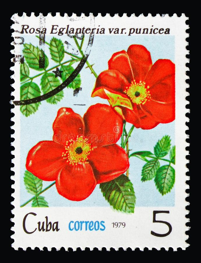 Rosa rubiginosa var. punicea, Flowers - Roses serie, circa 1979. MOSCOW, RUSSIA - AUGUST 18, 2018: A stamp printed in Cuba shows Rosa rubiginosa var. punicea royalty free stock photography