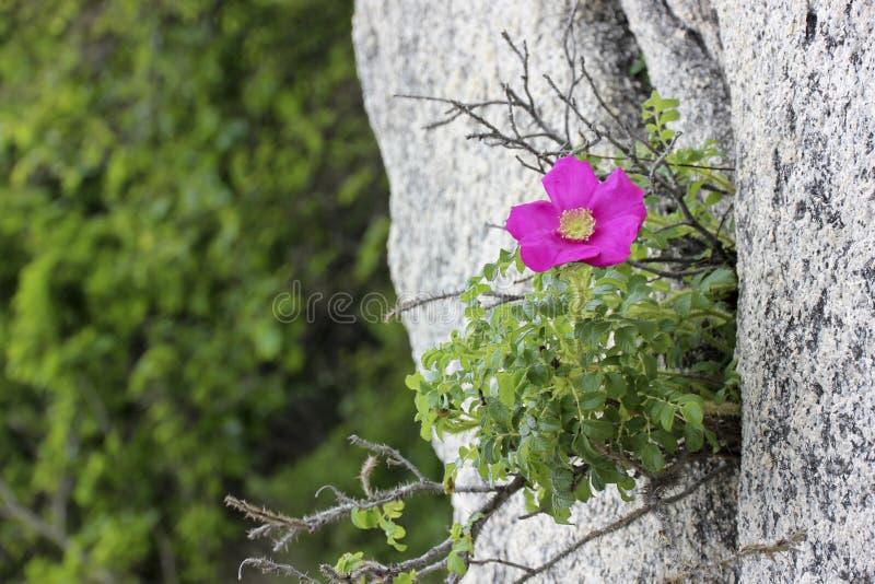 Rosa Rugosa στους βράχους στοκ εικόνες