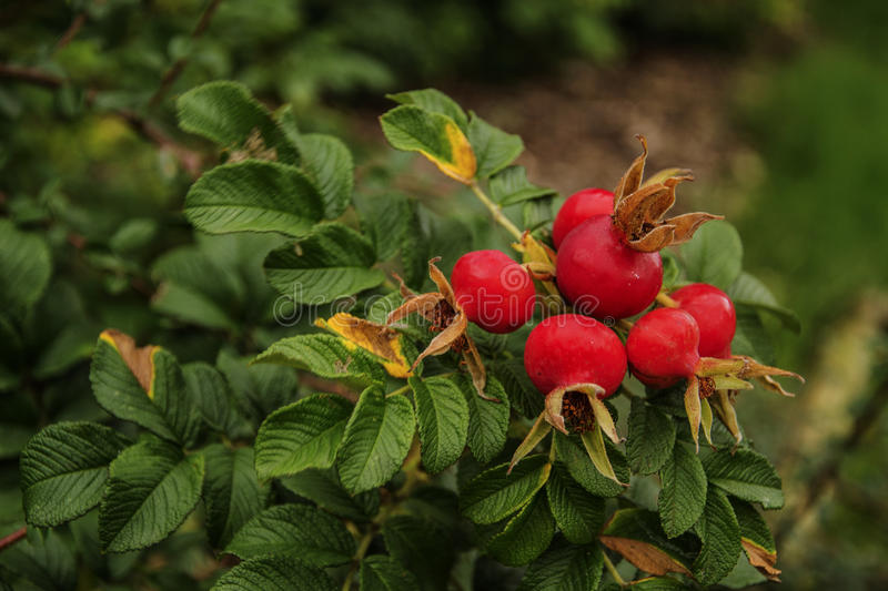 Rosa rugosa stock photography