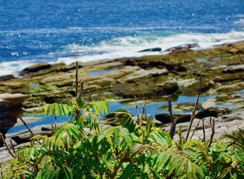 Rosa rugosa, morze wzrastał, przed kwitnąć, z ocean kiścią w tle obrazy stock