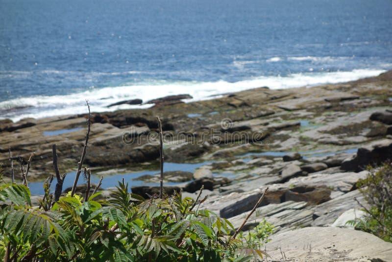 Rosa rugosa, morze wzrastał, przed kwitnąć, z ocean kiścią w tle zdjęcia stock