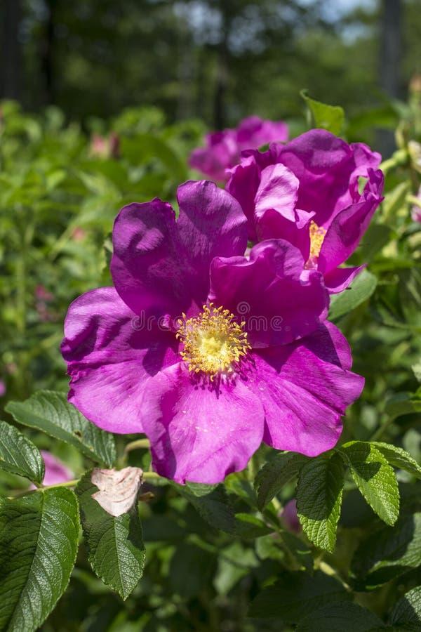 Rosa Rugosa rosa buske royaltyfri fotografi
