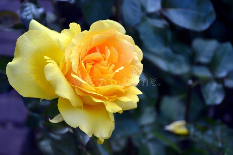 Rosa só do amarelo e fundo roxo fotografia de stock royalty free