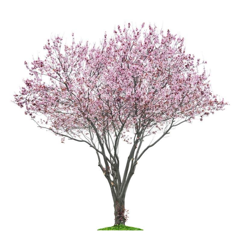 Rosa sacuraträd arkivfoto