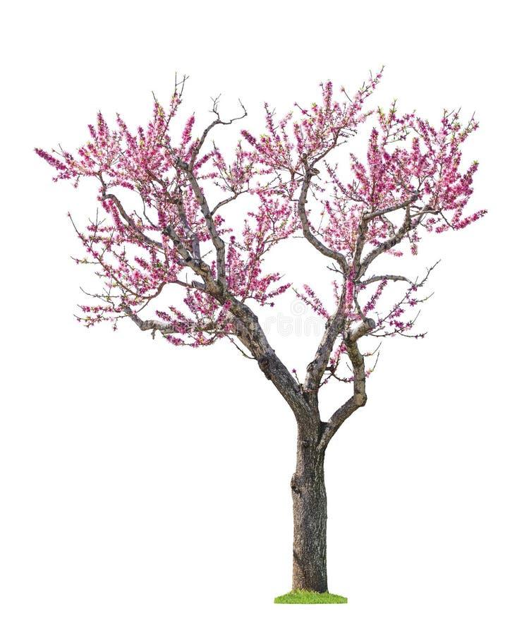 Rosa sacuraträd arkivfoton