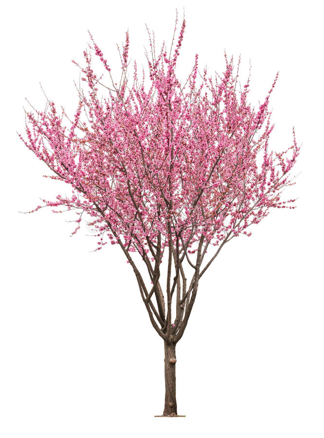 Rosa sacuraträd royaltyfria foton