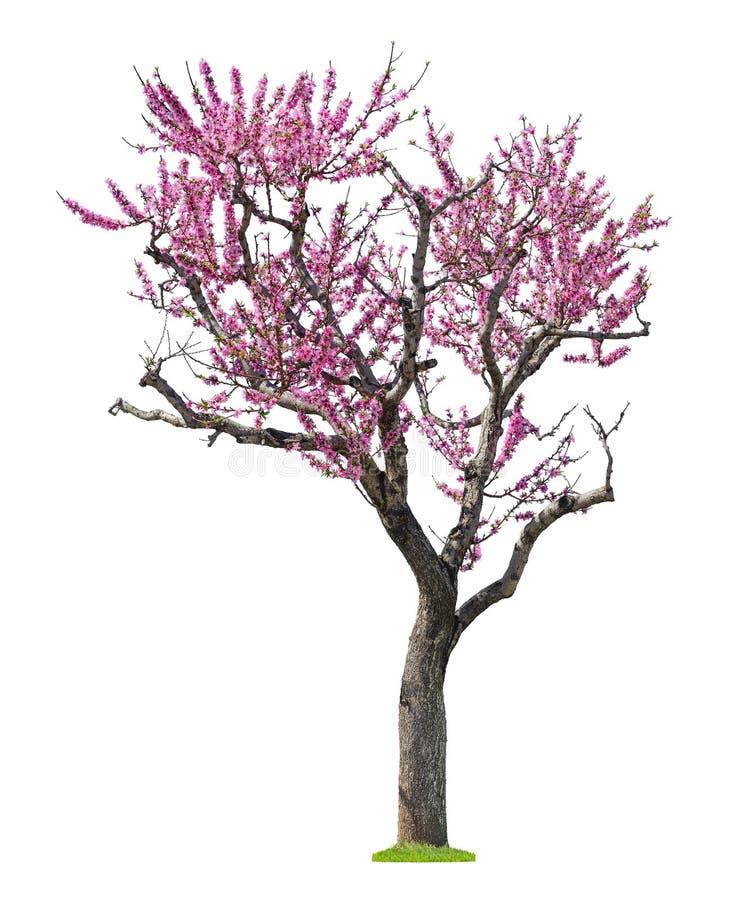 Rosa sacuraträd royaltyfri foto