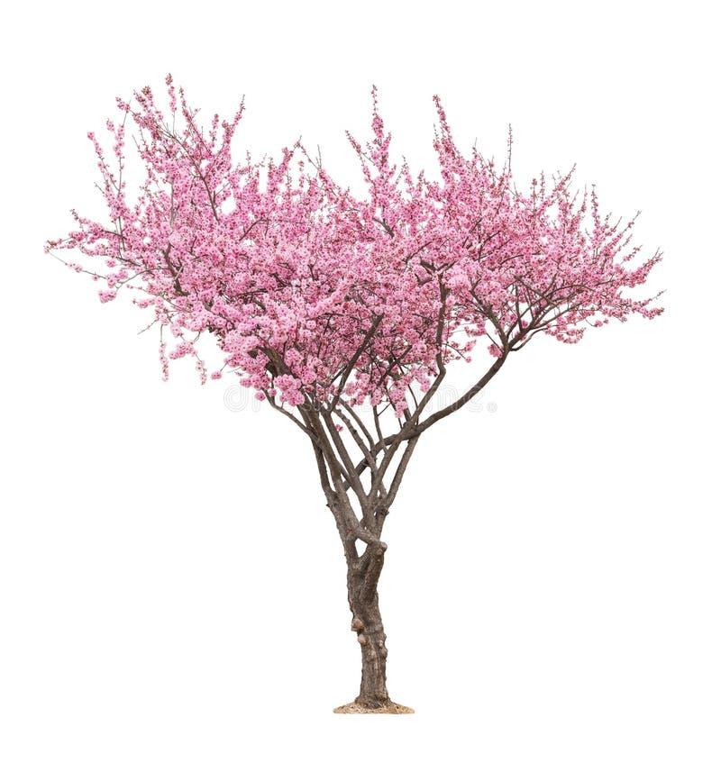 Rosa sacuraträd royaltyfri fotografi