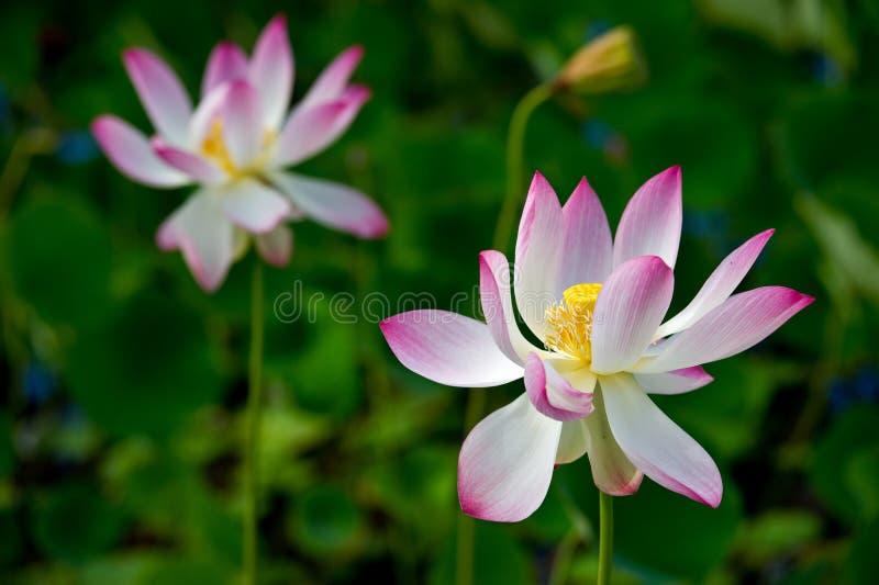 rosa sakralt för lotusblomma royaltyfria foton