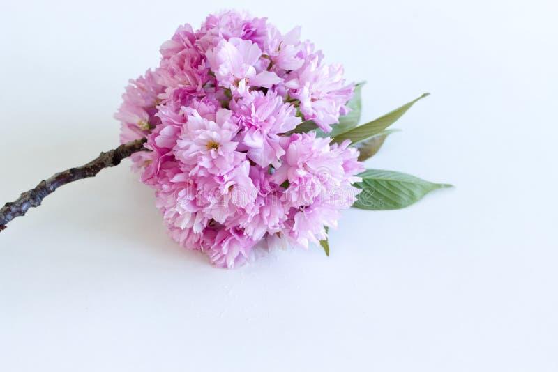 Rosa sakura blomma på det blå, rustiga träbordet Blomblommor i körsbärsbärsblommor med textplats fotografering för bildbyråer