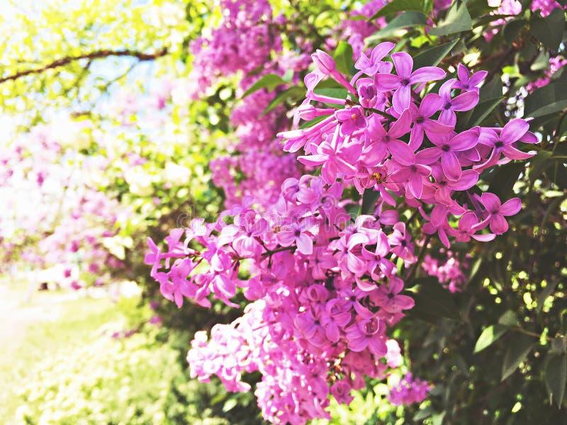 Rosa sakura blommar, härliga Cherry Blossom i natur med oskarp bakgrund arkivbilder