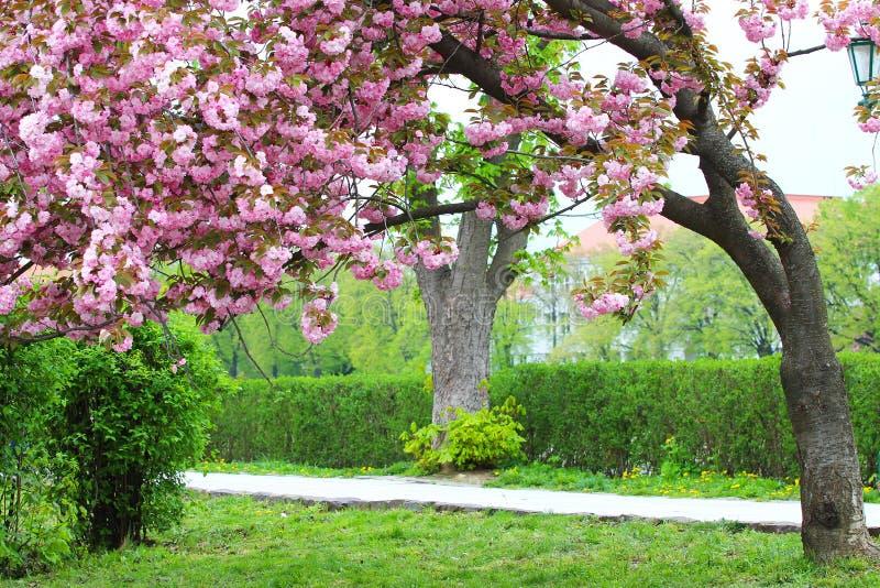 Rosa sakura blomning i Uzhgorod, Ukraina royaltyfri fotografi