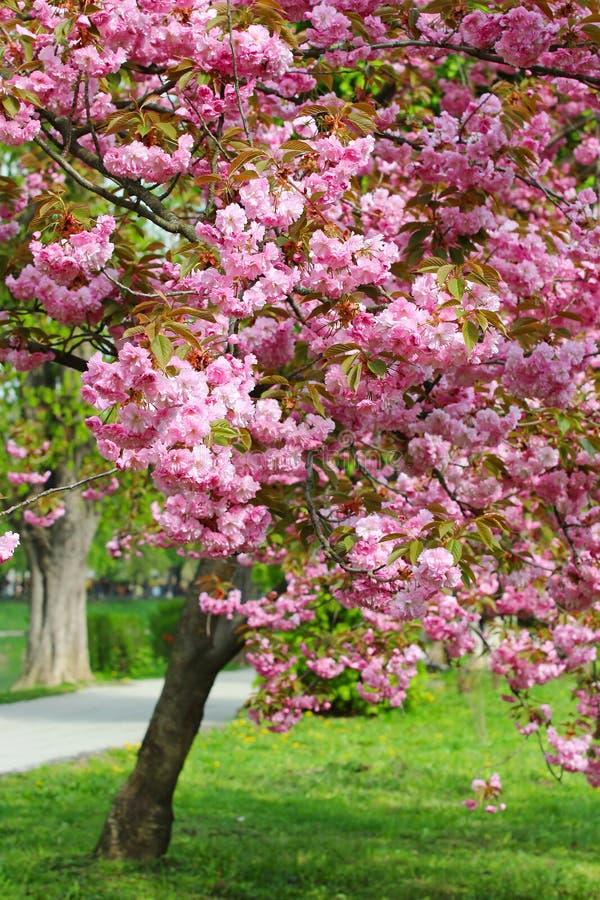 Rosa sakura blomning i Uzhgorod, Ukraina arkivbilder