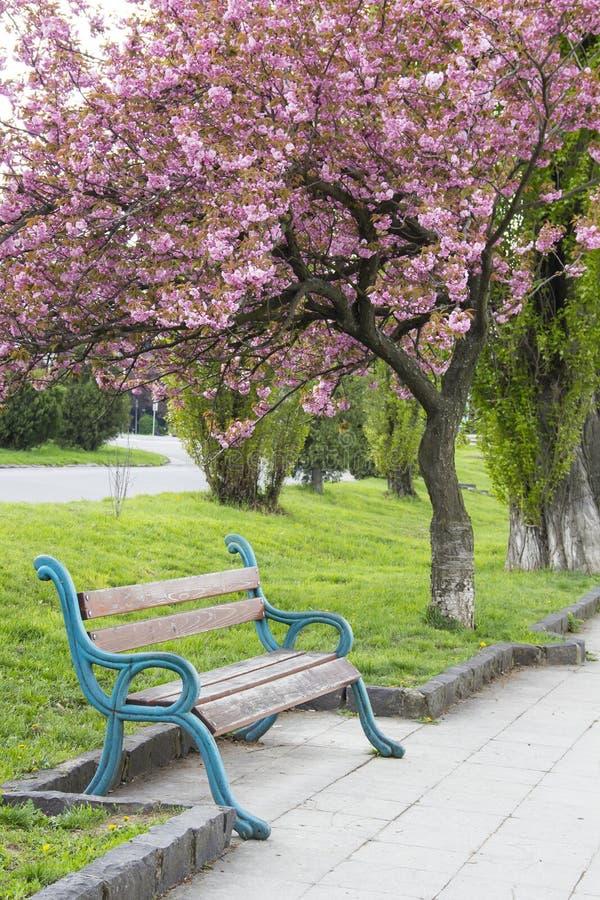 Rosa sakura blomning i Uzhgorod, Ukraina arkivbild