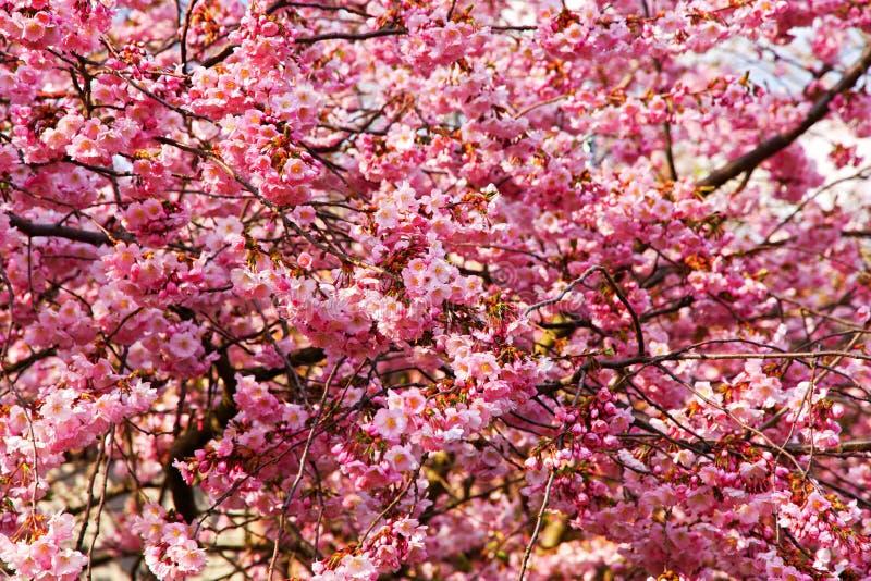 Rosa sakura blomningblommor arkivbilder