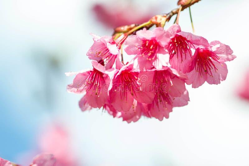 Rosa sakura blomstrar i Thailand royaltyfri bild