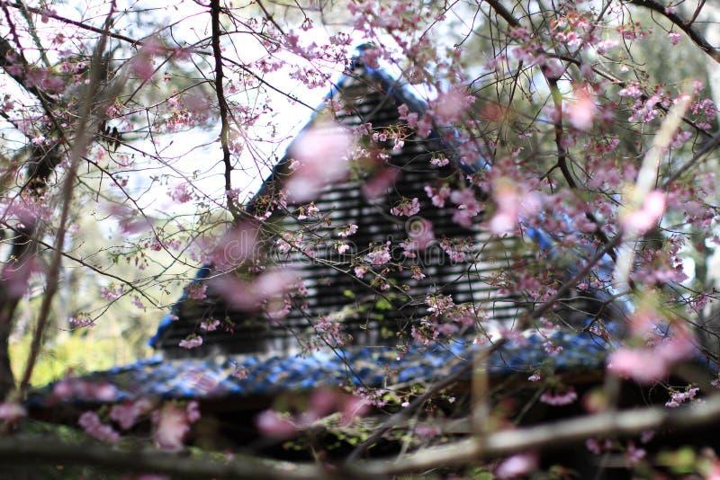 Rosa Sakura Flowers Beside House arkivfoto