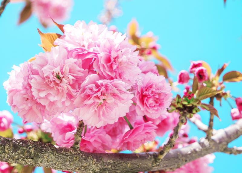 Rosa sakura japansk körsbär i blomning i en vårträdgård royaltyfri foto
