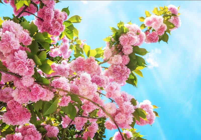 Rosa sakura (japansk körsbär) i blomning i en vårträdgård arkivbilder