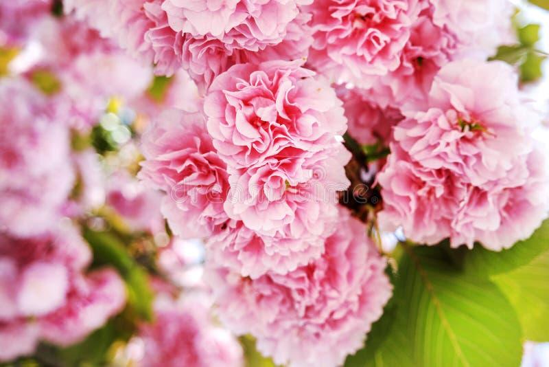 Rosa sakura (japansk körsbär) i blomning i en vårträdgård royaltyfri bild