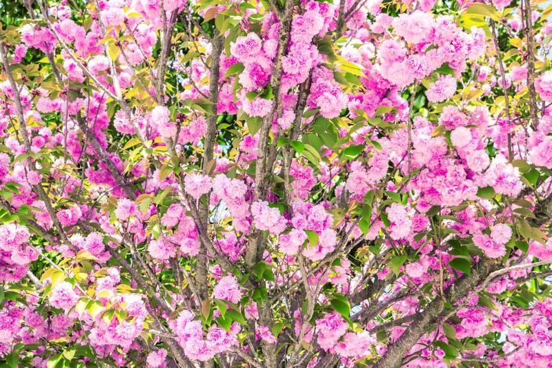 Rosa sakura (japansk körsbär) i blomning i en vårträdgård royaltyfria bilder